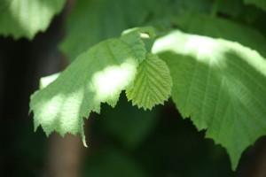 Hojas nuevas del avellano / Aceytuno