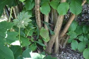 Un ramo de ramas parece el tronco del avellano / Aceytuno