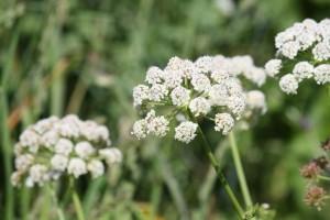 Eneldo florecido / Aceytuno