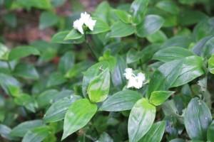 Especie similar a la Vinca pervinca pero blanca / Aceytuno