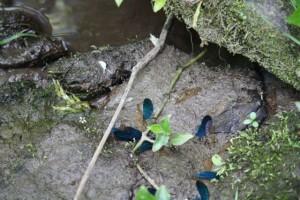 Alas azules de machos, doradas de hembra, de caballito del diablo (Calopteryx sp.) / Aceytuno