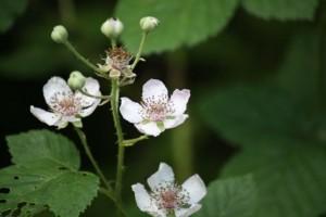 Flor de la mora / Aceytuno