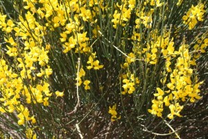 Retama florecida, mayo 2015 / Aceytuno