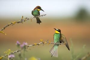 Abejarucos (Merops apiaster) / Javier Valladares
