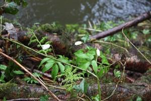 Anémonas florecidas entre las raíces de los aliaos / Aceytujno