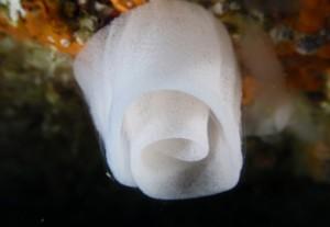 Puesta de nudibranquio : Aceytuno