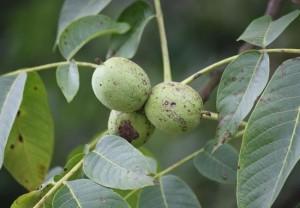 Frutos del nogal / Aceytuno
