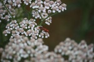 Siempre el mismo insecto sobre la misma flor. Las especies avanzan juntas. / Aceytuno
