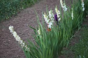 Gladiolos  de la huerta de Luis / Aceytuno