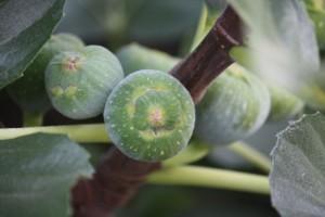 Higos aún verdes / Aceytuno