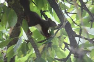 Ardilla en el cerezo / Aceytuno