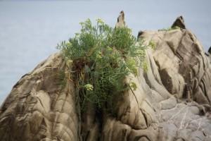 Hinojo marino (Crithmum maritimum) julio 2015 / Aceytuno