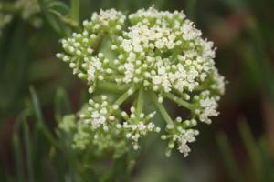 Detalle de la flor en umbela del hinojo marino / Aceytuno