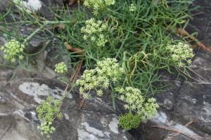 Las hojas del hinojo saben a mar y se utilizan en Cataluña para la salmuera de las aceitunas / Aceytuno