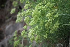 Las flores, de lejos se ven más verdosas, incluso amarillas / Aceytuno