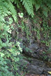 Rocas del acantilado en el que nacen estos helechos / Aceytuno