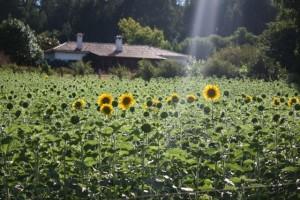 La casa, el sol y el girasol / Aceytuno