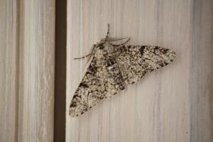 Biston betularis del abedul sobre la madera blanca de la ventana / Aceytuno