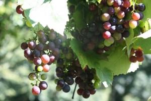 Envero de la uva/ Aceytuno