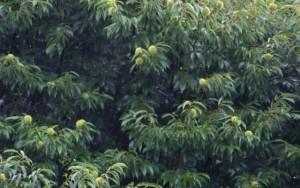 Erizos de castaño bajo la lluvia / Aceytuno