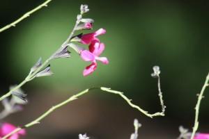Salvia mirophylla / Aceytuno