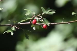 Majuelo (Crataegus monogyna) / Aceytuno
