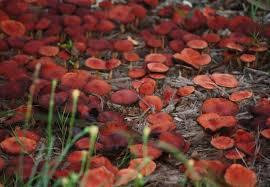 Rodal de setas rojas como manzanas sobre virutas de madera/ Aceytuno / No es sólo agua lo que trae la lluvia.
