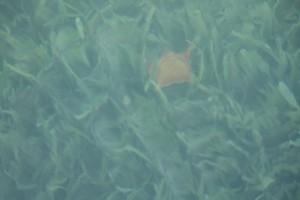 Estrella marina roja entre las hierbas de las tortugas (Thalassia testudinum) / Aceytuno