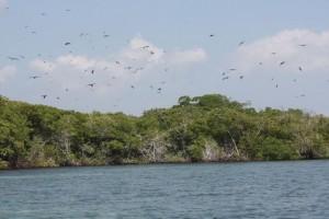 Vuelo de las fragatas sobre las aguas del manglar en Morrocoy / Aceytuno
