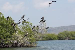 Colonia de rabihorcados sobre los mangles de Morrocoy / Aceytuno