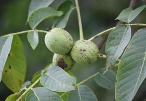 Frutos, nueces aún verdes, del nogal / Aceytuno