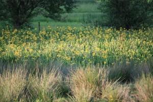 Ácoros silvestres florecidos en el un prado inundado/ Aceytuno