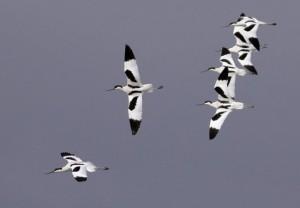 Avocetas- Recurvirostra avosetta– Avocet – Avocette elegante – Säbelschnäbler/  AUTOR: Stephen Daly