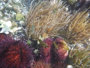 Erizoss, camarones y ortigas de mar en charco intermareal / Aceytuno