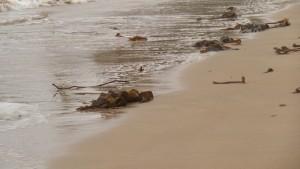 Arribazón de algas laminarias en la playa de Perbes el 29-15-2015/ Aceytuno