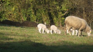 Corderos empezando a pastar / Aceytuno