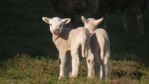 Como si les pudiera enfriar,  no entran los corderos en la sombra a pastar / Aceytuno