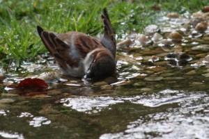 Gorrión bañándose en el agua caída de un chaparrón / Aceytuno