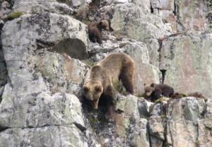 Hembra de oso pardo cantábrico con dos crías / Fundación Oso Pardo (FOP)
