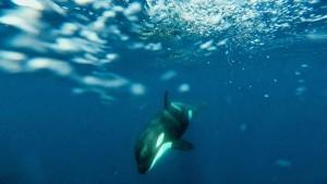 Orca (Urcinus orca) / Manu Esteve