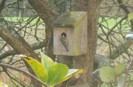 Carbonero sobre el nidal, enero 2016 / Aceytuno