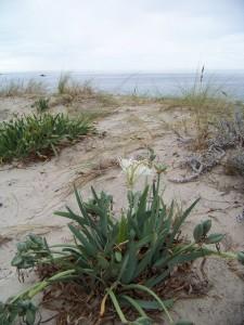 Azucena de las dunas o cebolla de las gaviotas florecida/ Aceytuno