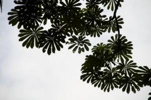 Hojas sobre el río del árbol sombrilla / Aceytuno