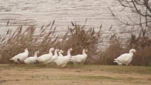 Ocas domésticas en la orilla del río Duero / Aceytuno