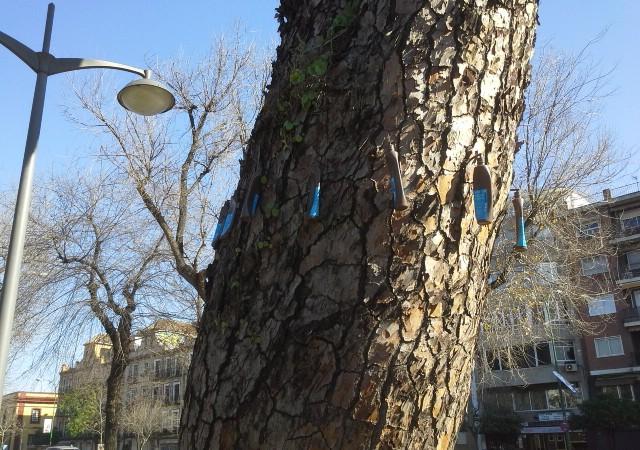 Picudo del pino, por Joaquín