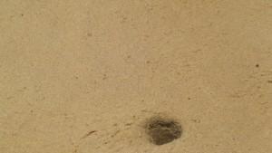 Hura del cangrejo albino / Aceytuno