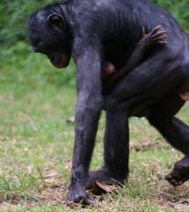 Andando bonobo y bebé