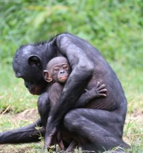 Bonobo bebé brazos