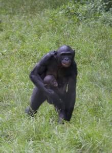 Bonobo madre andando