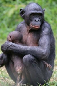 Bonobo mirada madre